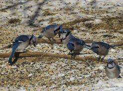 Image result for flock of blue jays pictures