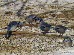 Image result for flock of blue jays pictures